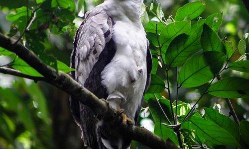 Crested Eagle taken with Panama bird guide Jason Lara