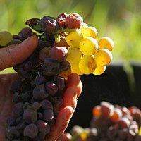 Le raisin aux vendanges-the grapes in the harvest
