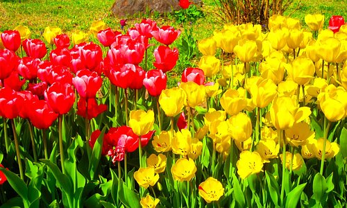 Tulips in the garden at Heart Herb