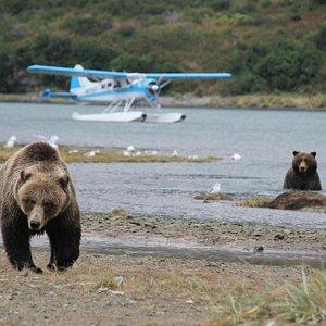 Bear Viewing with Sea Hawk Air
