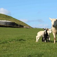 Lambs born on Newgrange farm with their mother