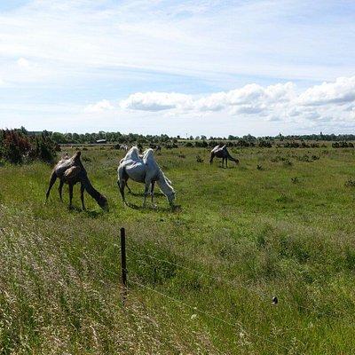 Die Kamele der Ranch