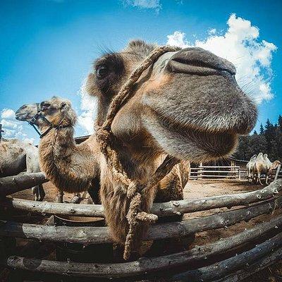GoPro-верблюды