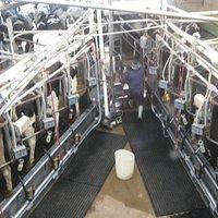 Milking process