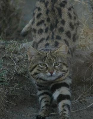 Blackfooted cat aka Small Spotted Cat