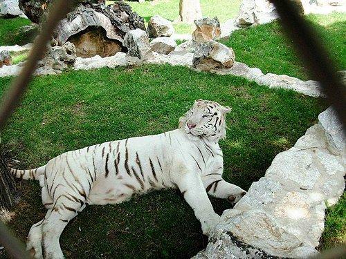 A white tiger in Belgrade Zoo, Belgrade, Serbia