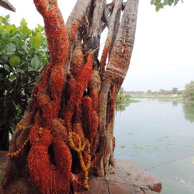 Siddhavat Banyan tree
