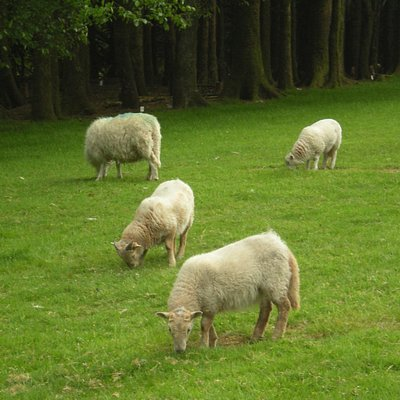 sheep and lambs at the campsite nearby, Colliford Tavern