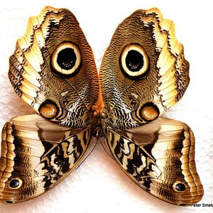 The South American Owl Butterfly