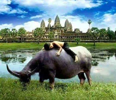 feeding buffalo at temple