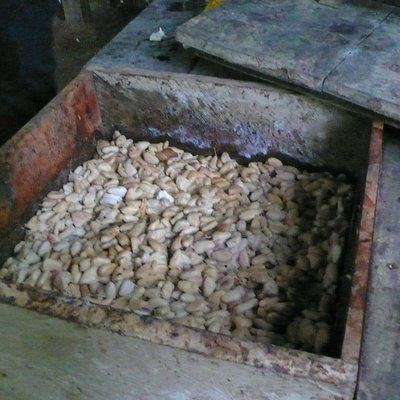 3. Instead of eating the white fruit, one ferments it to make cocoa