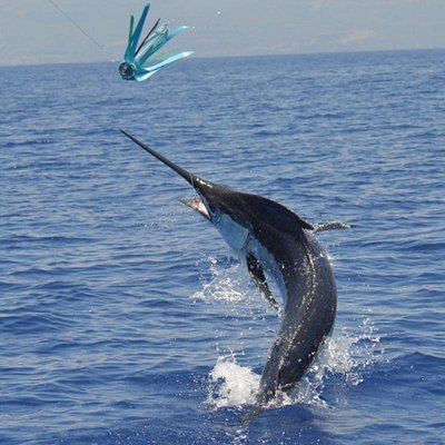 Beautiful blue marlin action shot by the crew on anxious free to our guest when you come fishing
