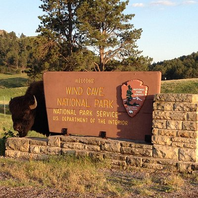 Bison Poses for Wind Cave National Park AD