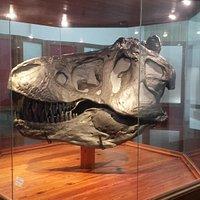 Réplica fiel de crânio de um Tiranossauro Rex