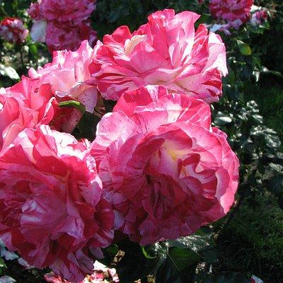 Rose Garden - Portland