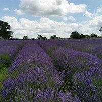 Faulkand lavender fields, July 2015