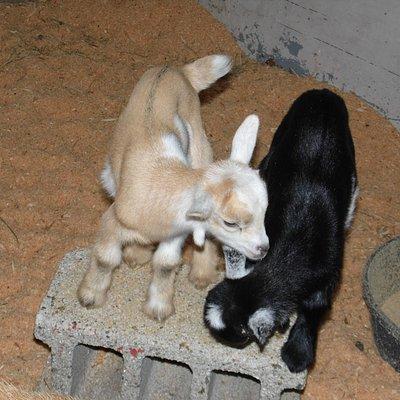 Newborn goats in the Maternity Ward