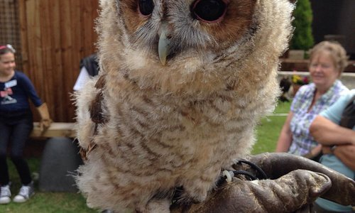 Mr Jo Bangles - gorgeous tawny owl !