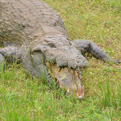 Paga Sacred Crocodile
