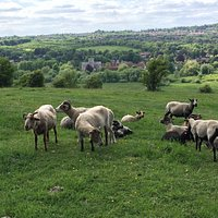 A flock of sheep grazes on St Catherine's Hill