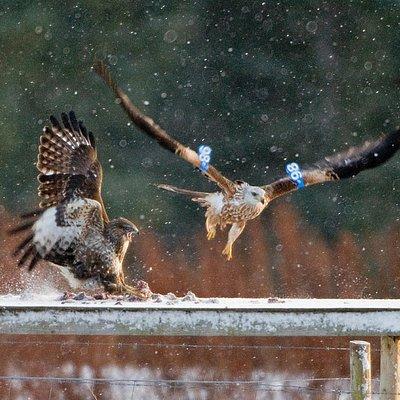 Winter feeding at Tollie
