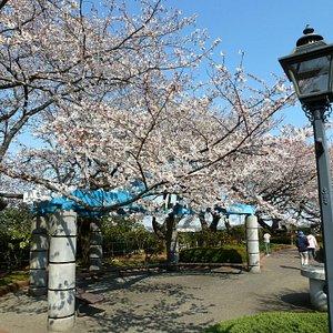 西谷浄水場の桜