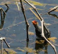 Coot chick inspecting spider's web
