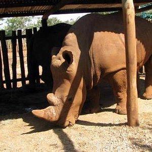 white rhinos in boma