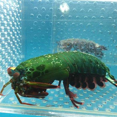 奇妙的綠蝦