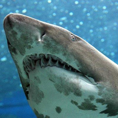Cretaquarium-Taurus shark