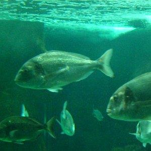 local fish in tank