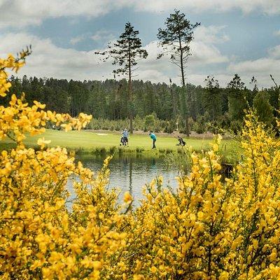 Silkeborg Ry Golfklub. Gyvelen blomstrer