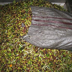 Olives in Factory