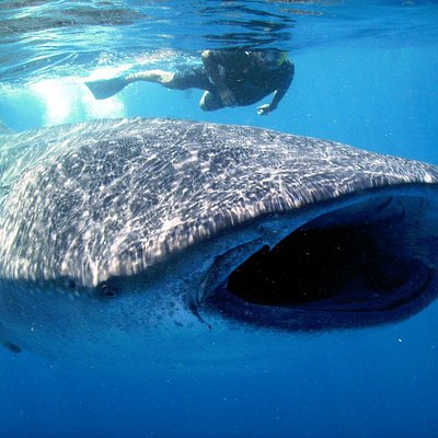 Whale Shark eating plancton
