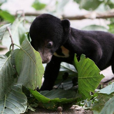 Sun Bear cub playing at Cambodia's Bear sanctuary