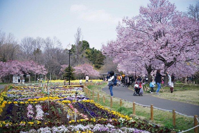 蘆花公園、春は菜の花と高遠桜