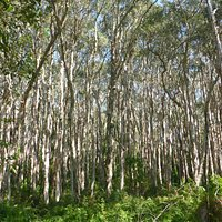 The paperbark trees