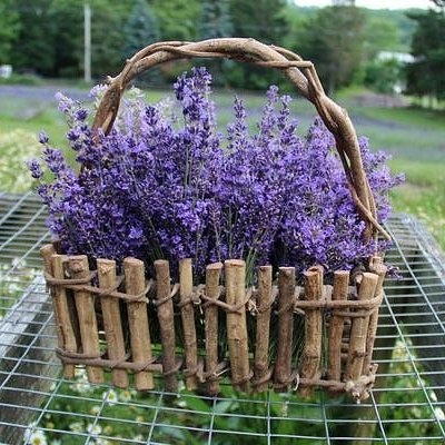 Fresh Cut Munstead Lavender