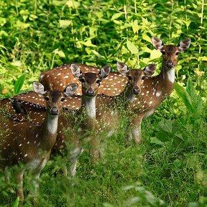 Kalakkadu Sanctuary- deer