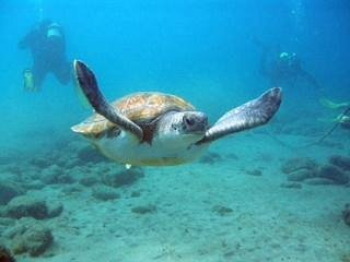 Bubbles the Turtle diving with Excel Scuba Tenerife