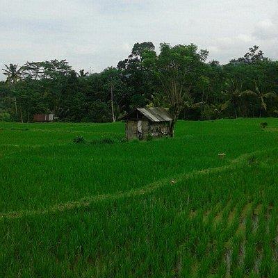 """"""" Bali Easy Go """" to rice terrace in sidemen,Bali."""