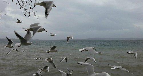 Gabbiani sul lago di Bracciano