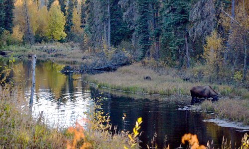 Our driver stopped when we saw moose in a river