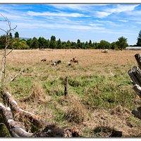 Les chèvres au paturâge