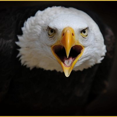 meet 'Wotan' the Bald Eagle