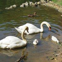 Cygnes en famille au Parc des Moulineaux