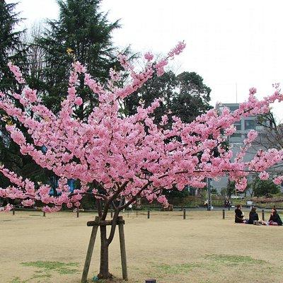 河津桜が満開