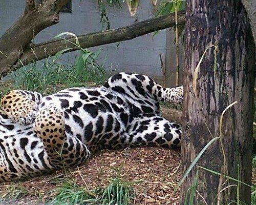 Jags the Jaguar!