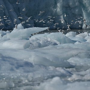 Gulls clustered near the glaciers for easy food findings