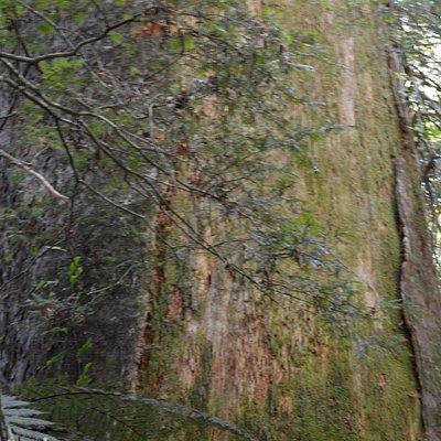 Massive Kauri Tree